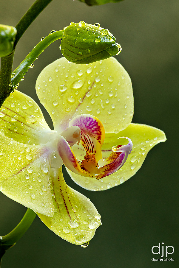 macro photograph yellow orchid